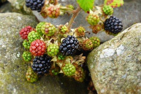 Beach House blackberries.  Yum!