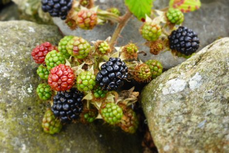 The BHK bumper blackberry crop