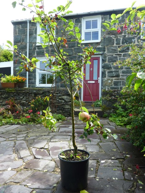 Our little Bardsey Tree (thanks Mum!) - Awaiting a proper home in the back garden