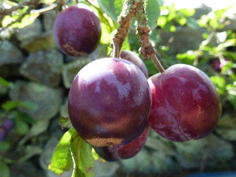 Gorgeous plum-age