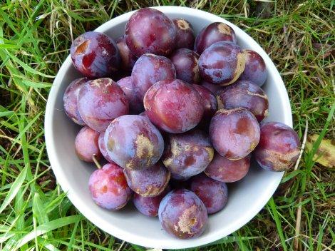 Homegrown plums anyone?