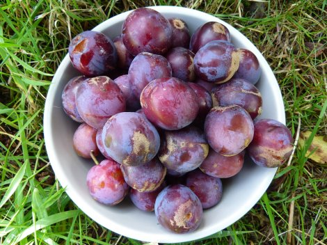 Homegrown plums anyone?
