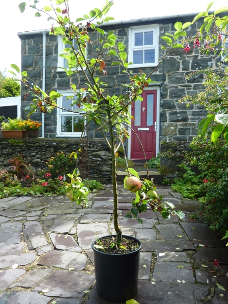 Potted fruit tree, the type you buy in garden centres etc