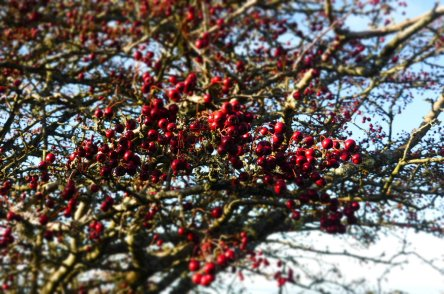 Our Hawthorn tree all red and sparkly