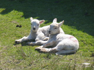Little lambs - cute now, in a couple of months they'll be invading our garden!