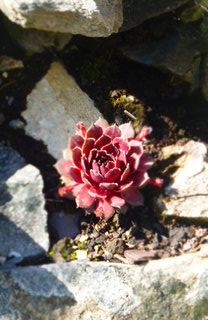 The Lotus Succulent