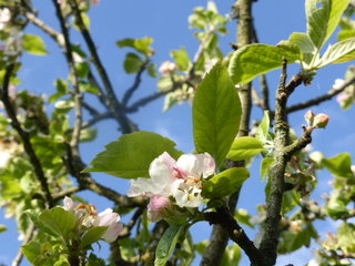 Plum blossom going strong.  Last year we had a festival of plums.  This year will be more like a quiet get-together.