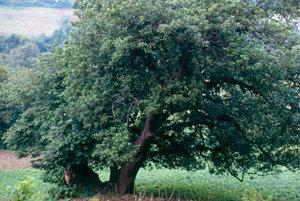 One of the largest avocado trees in Veracruz, Mexico
