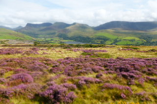 The Nantlle Valley, where we wander and work (looking great with the new heather growth, everything is going purple!)
