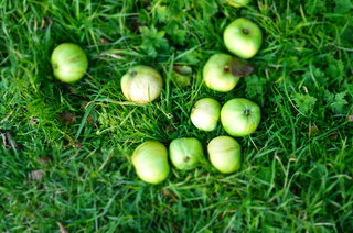 Windfall Bardsey apples in the garden