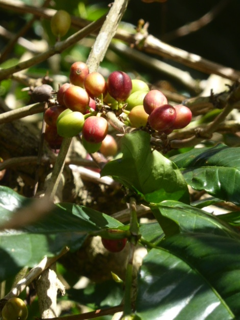 From bush to cup, you get the whole coffee experience in Indonesia